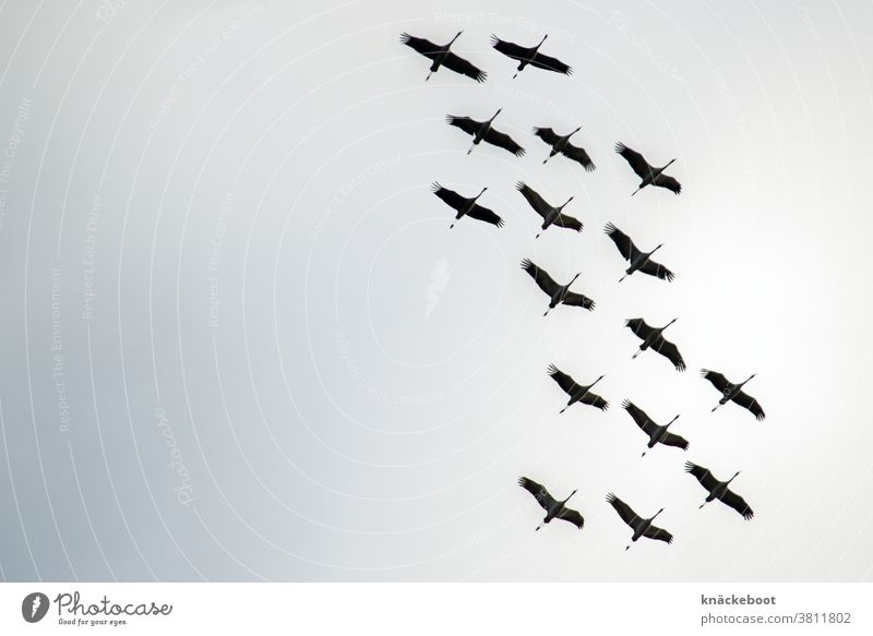 cranes Migratory birds Bird Sky Colour photo Exterior shot Nature Wild animal Flock of birds Day Flying Freedom