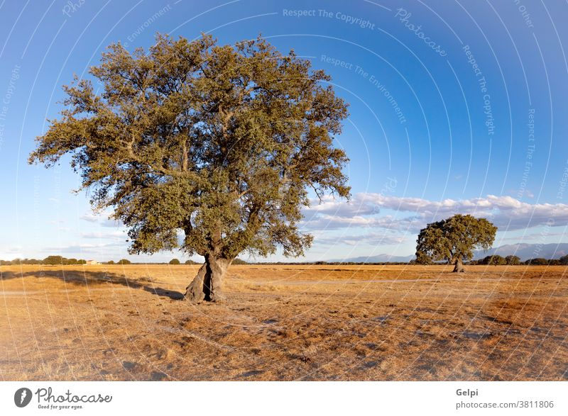 Spanish meadow in summer field dry holm oak Spain sky landscape season tree one blue leaf nature wood environment park plant rural spring sun bright country
