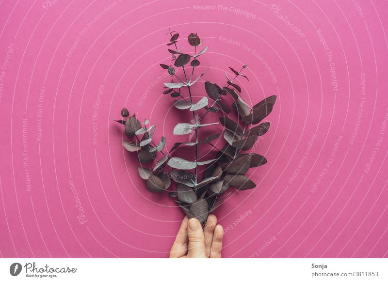 Female hand holds a bunch of dried eucalyptus. Pink background, top view Dried Hand federation pink segregated Nature Leaf Neutral Background Autumn