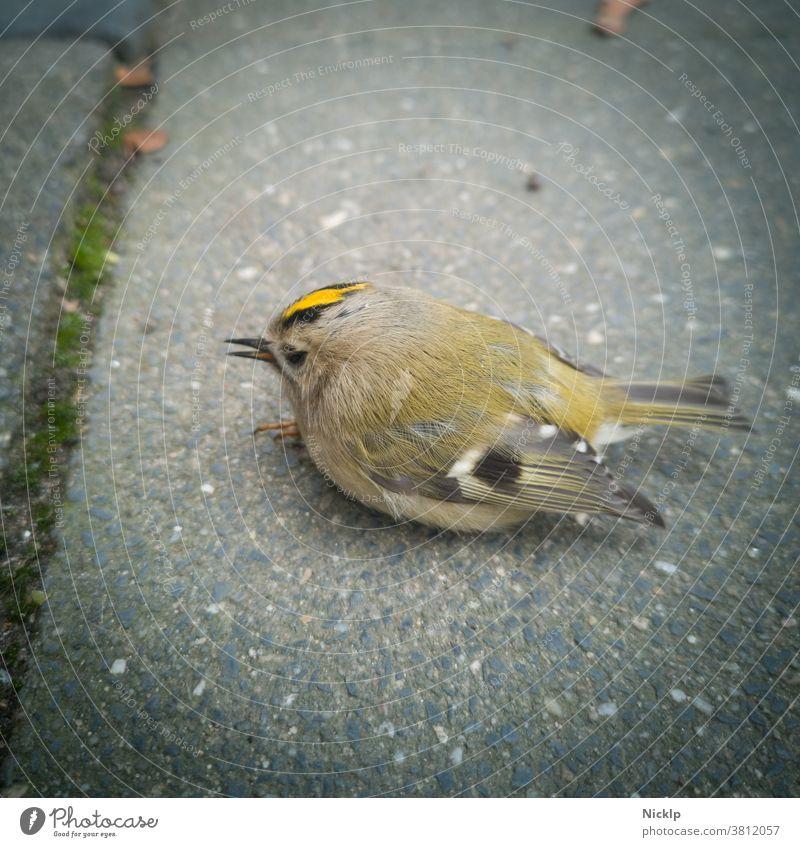 weakened little bird (golden chicken) is sitting on the ground and needs help Bird Small Diminutive in need of help Seeking help goldenähnchen