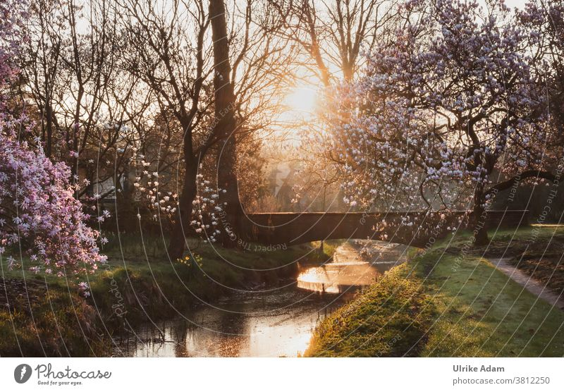 favourite place in paradise - garden .... blooming magnolia trees at an old stone bridge in the warm light of the rising sun Magnolia trees Magnolia blossom