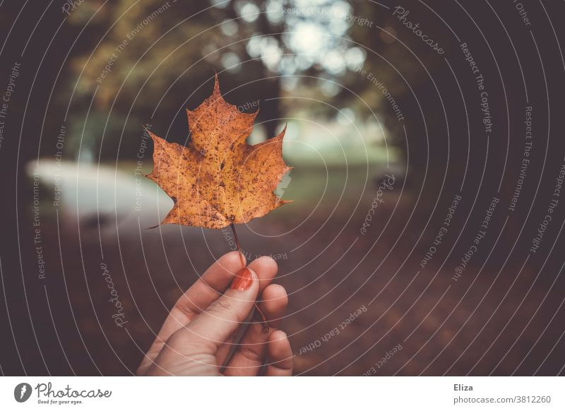 One hand holds an autumn yellow maple leaf Autumn foliage Maple tree Maple leaf Hand Nature out Autumnal Autumnal colours Leaf Autumn leaves
