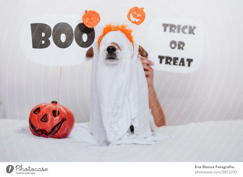 cute jack russell dog at home wearing ghost costume. Halloween background decoration. Woman hand holding BOO sign halloween indoors balloons bedroom house