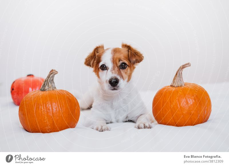 cute jack russell dog at home. Halloween background decoration halloween indoors balloons bedroom house lovely pet nobody orange pumpkin diadem funny domestic