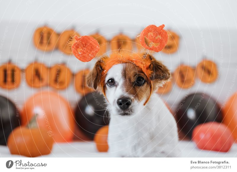 cute jack russell dog wearing halloween diadem at home. Halloween background decoration. indoors balloons bedroom house lovely pet nobody orange pumpkin funny
