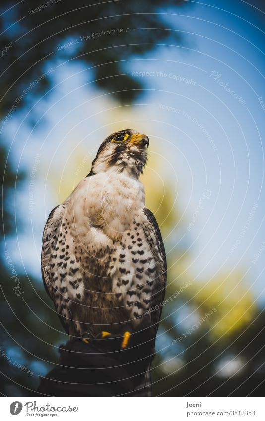 A Lanner falcon sits proudly on the falconer's hand. In the background the blue sky. Bird of prey Lanner Falcon Falconer Hunter Beak Feather feathered Looking