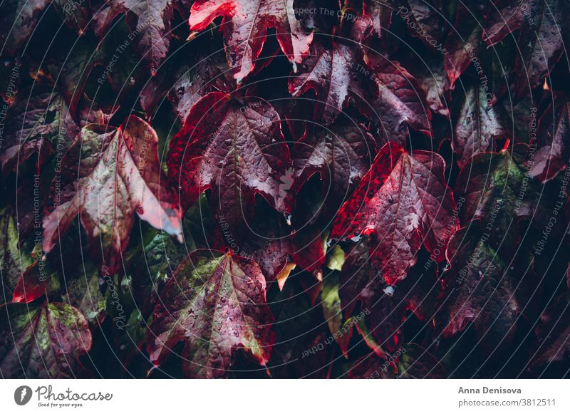 Ivy leaves, autumn background concept ivy fall leaf green orange season nature garden colorful plant red tree foliage outdoor texture october bright decoration