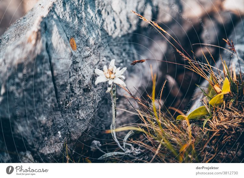 Hidden edelweiss above the Achensee in Tirol in Austria Alps Back-light Tyrol Lake Achensee Wanderlust Hiking trip Class outing nature conservation Endurance
