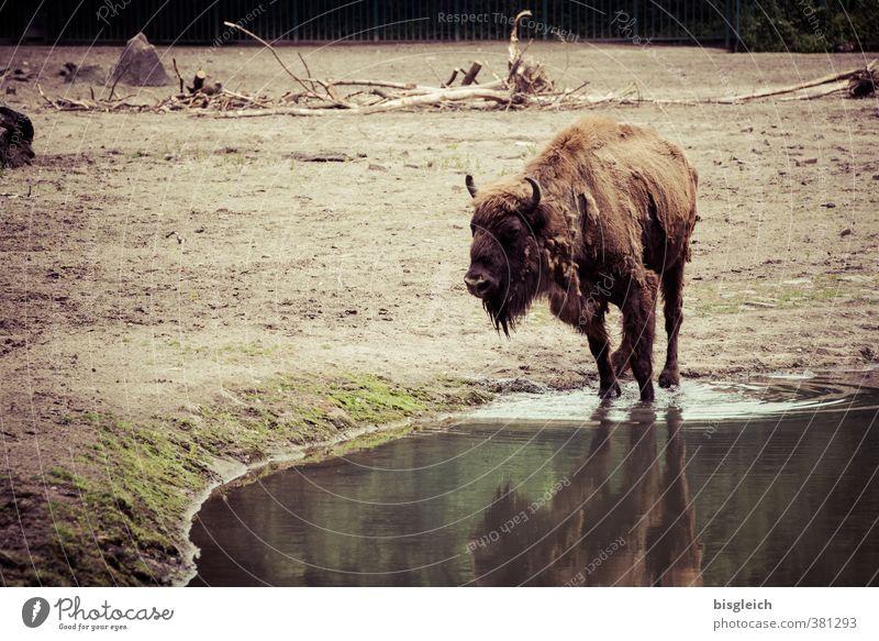 Animal Brown Wild animal Stand Drinking Meat Buffalo Bison