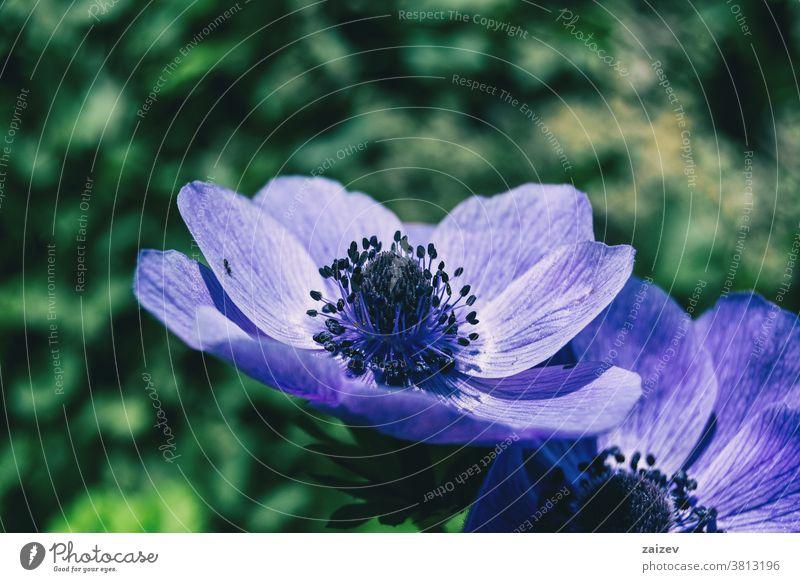 Detail of a purple flower of anemone coronaria poppy anemone spanish marigold windflower mediterranean blossom vegetation flora floral botany botanical