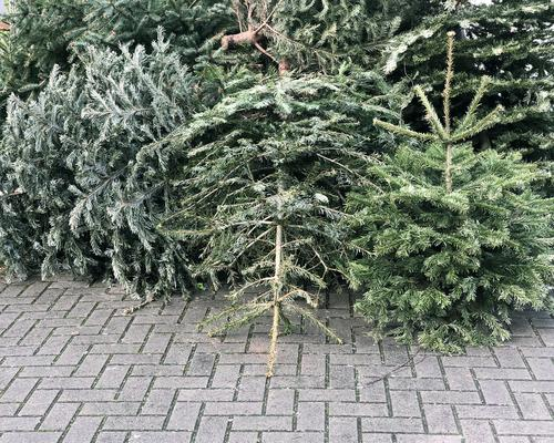 discarded christmas trees piled on pavement for trash collection xmas garbage rubbish pine fir winter new year january germany abandoned street environment