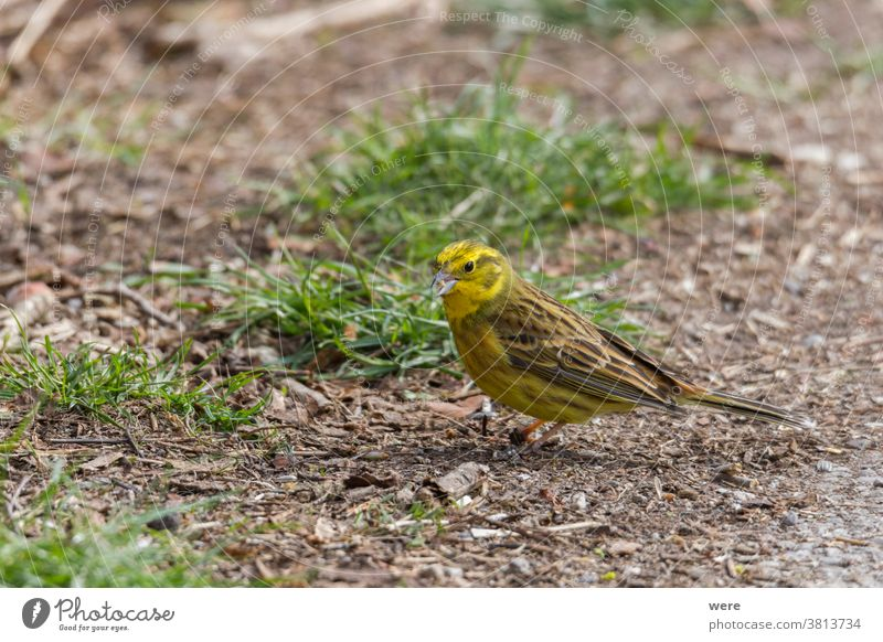 Yellowhammer searching for food on the forest floor Emberitsa Citrinella Animal Bird Copy Space Cuddly cuddly soft feathers Fly Food Forest Woodground Ground
