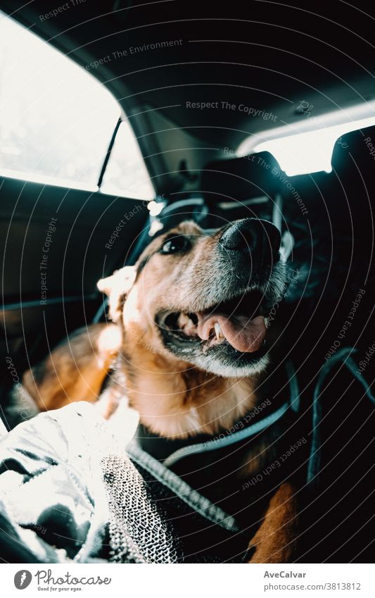Cute dog smiling while waiting on the back seat of the car adorable enjoy lifestyle cute fun rest pet home closeup domestic bed happy goofy resting relaxation
