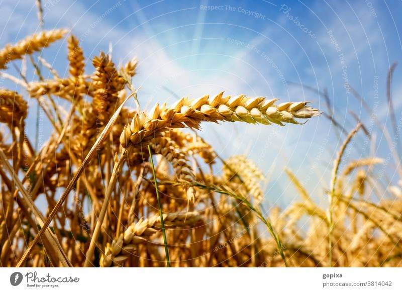 Wheat in a field Grain Agriculture Sun aridity ardor Environment Climate Harvest spike acre extension Plant Field Summer ecology Agricultural crop sunshine
