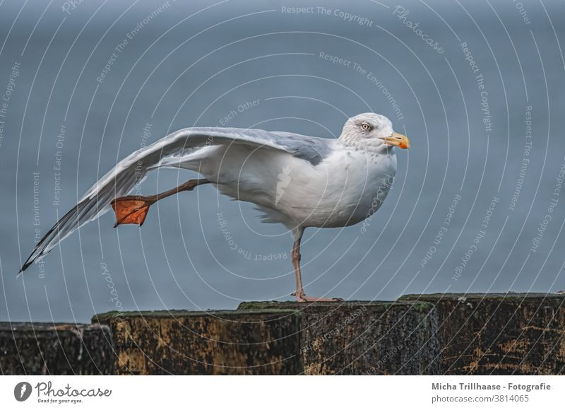 Gull stretches and stretches Seagull Silvery gull Larus argentatus Bird Animal Baltic Sea Head Beak Eyes Grand piano feathers plumage Legs elongate Stretching