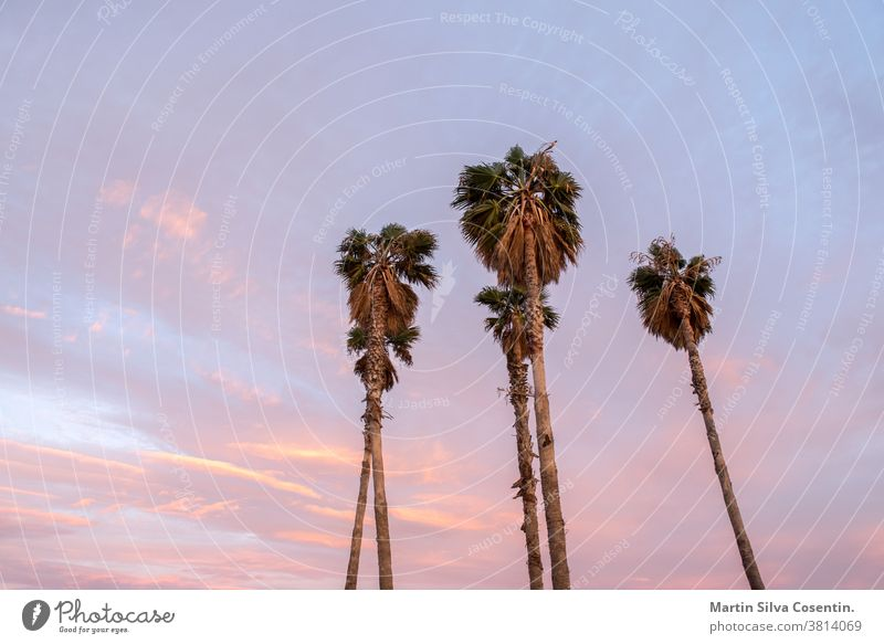 Four Palms. Beautiful sunny sunset in the city of Tarragona, in Catalonia, Spain in the summer of 2020. City Summer amphitheater amphitheatre ancient antique