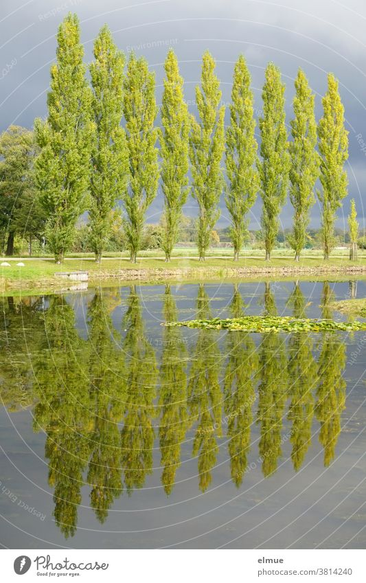 Ten poplars in the sunlight and before rain clouds, reflecting in the water of a lake Poplar Tree reflection Lake Lakeside Rain Cloud stormy atmosphere