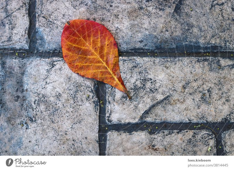 Red orange leaf on old fashioned stone sidewalk, Mexico autumn floor yellow texture outdoor fall surface season background pattern nature closeup maple road