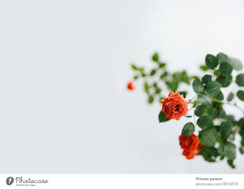 red rose on light background, copy space, greeting card Rose Rose colors Red Pink Flower Leaf Valentines day Bouquet White Petal Love Photographing Flowerbed