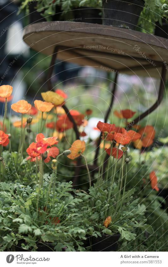 living a sheltered life Nature Plant Spring Beautiful weather Flower Blossom Pot plant Iceland poppy Garden Blossoming Growth Friendliness Happiness