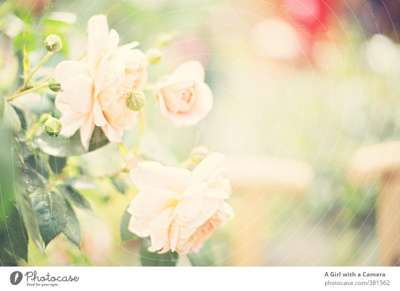Nature Summer Plant Flower Love Spring Blossom Garden Exceptional Pink Park Growth Fresh Esthetic Blossoming Romance