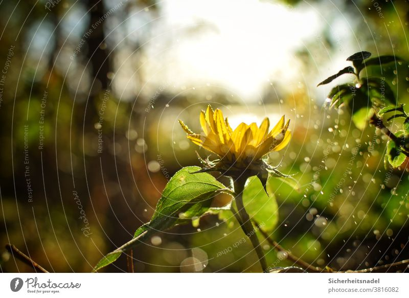 Sunflower Backlight Flower Yellow Plant Nature Back-light Exterior shot Deserted Sunlight Drizzle bokeh Drops of water Beautiful weather Light Blossom