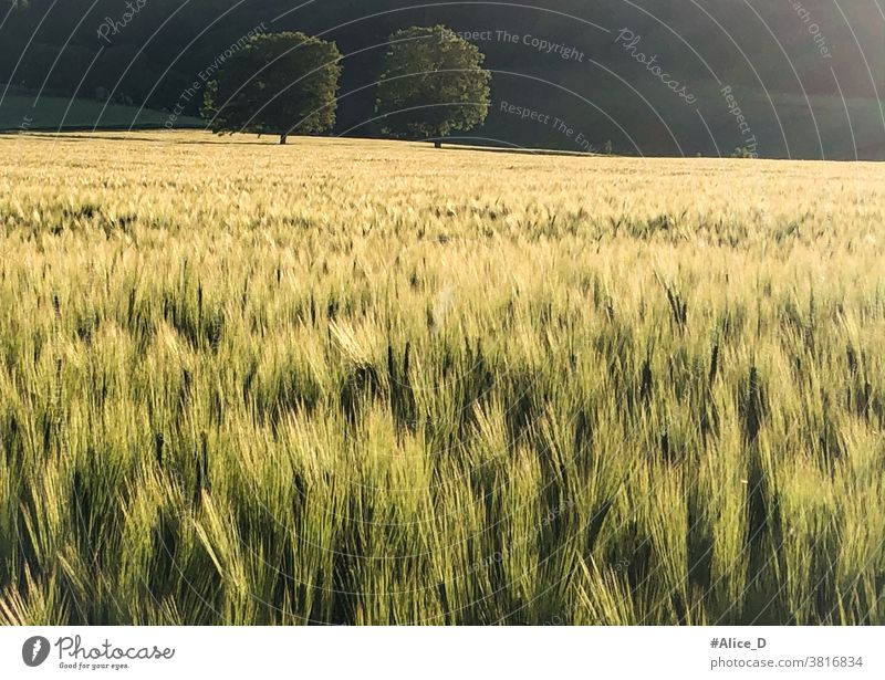 green cornfield in the golden sunset light Grain field Green Sunlight trees Germans Agricultural industry Landscape Wheatfield Sunset Flare Brilliant Nature