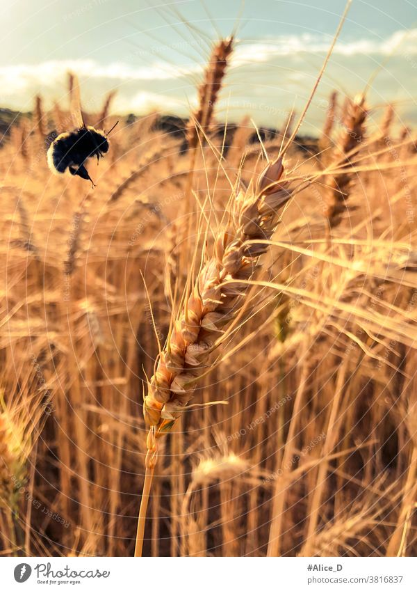 Wheat stalk field and bumblebee in approach Wheatfield Wheat straws close up brown Gold Dry Grain Grain field Spelt stalks Bumble bee Insect Nature food