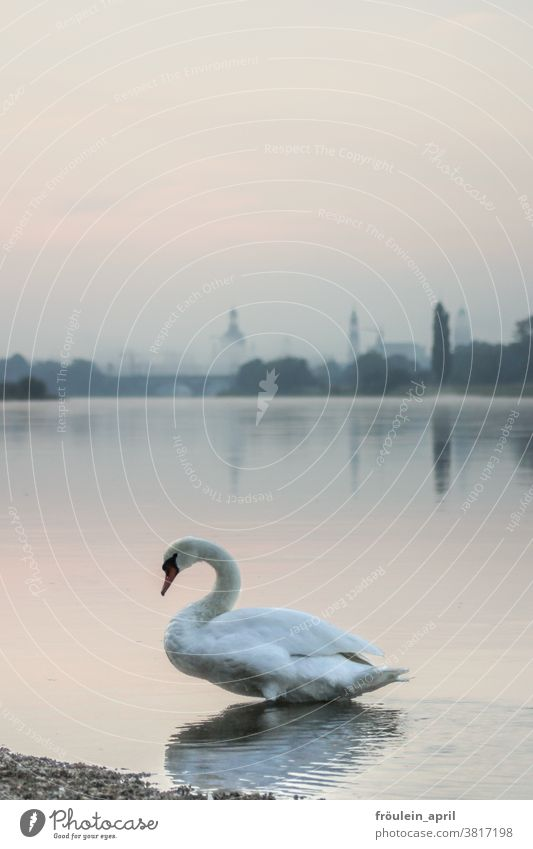 Swan with fog Animal River River bank Water Exterior shot Nature Colour photo Bird White Deserted Day Environment Wild animal naturally Copy Space top Light