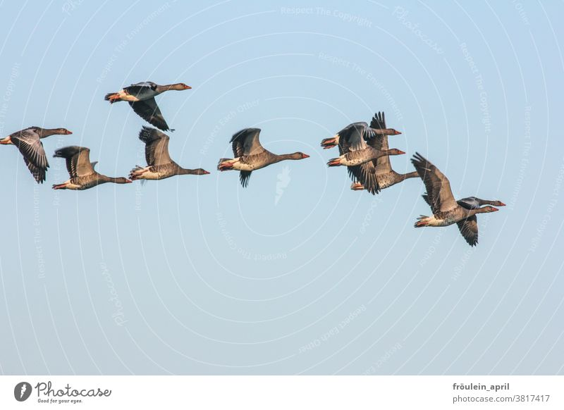 Extract - grey geese in flight Bird Flock of birds Migratory birds Gray lag goose Goose Flying travel Sky Wild animal Exterior shot Nature Animal Colour photo