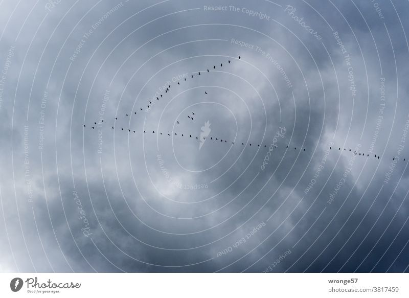Migratory birds migrate in V-formation in the heavily clouded sky towards the south into warmer climates bird migration Bird Flying Sky Flock Nature