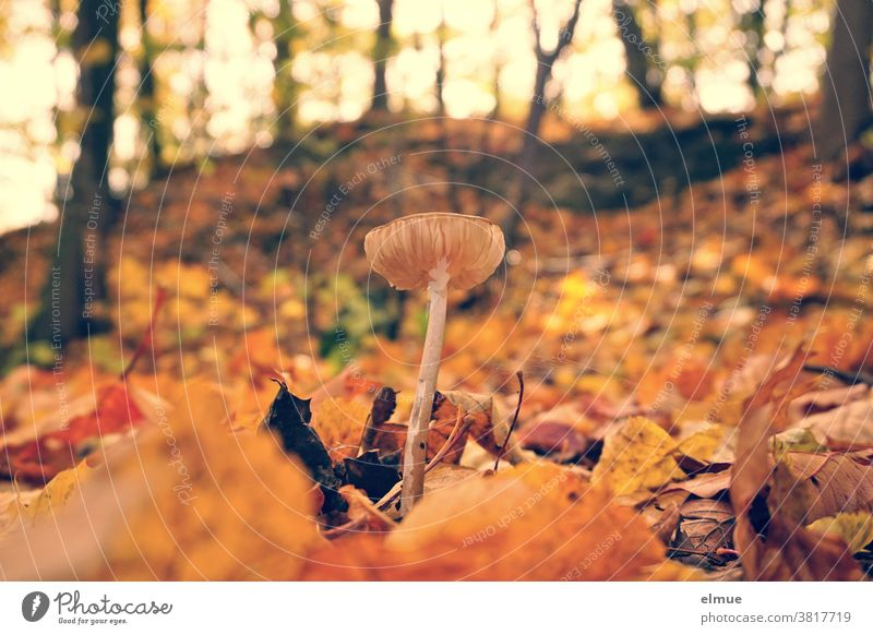 A small mushroom in the middle of colourful autumn leaves Mushroom Forest Ground Autumn Autumnal Mushroom cap Deciduous forest Environment Woodground foliage