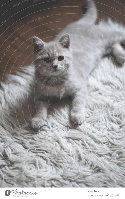 house cat Cat hangover tom putty fur nose roomier predator Pelt Animal Pet Domestic cat Animal portrait Cuddly Cute Love of animals Looking Baby animal Carpet