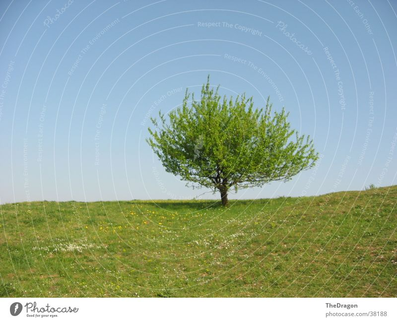 Summer tree - summer tree Tree Leaf Meadow Physics Plain Sky Blue Warmth Landscape leaves heaven
