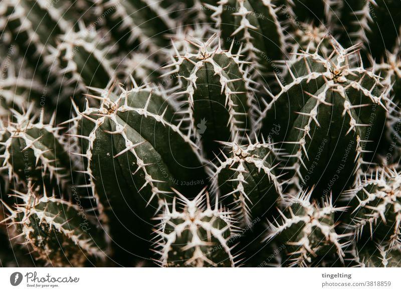 cacti Cactus prickles Close-up Dark green Beige White Copy Space Pierce Dangerous Nature plants