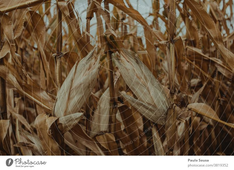 Dry corn field Cornfield Cereal Agriculture Agricultural crop Close-up Exterior shot grain Nature Grain field Field Ear of corn Harvest Food Colour photo