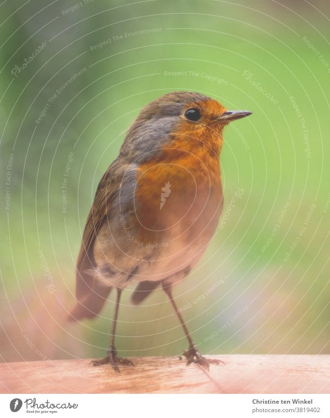 Curious robin stands on the edge of a wooden table and looks to the side. Close up with shallow depth of field. Robin redbreast Erithacus rubecula Wild animal 1
