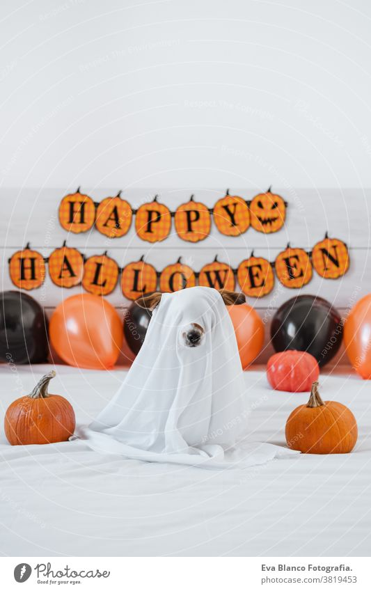cute jack russell dog at home wearing ghost costume. Halloween background decoration halloween indoors balloons bedroom house lovely pet nobody orange pumpkin