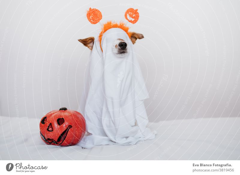 cute jack russell dog at home wearing ghost costume. Halloween background decoration. halloween indoors balloons bedroom house lovely pet nobody orange pumpkin