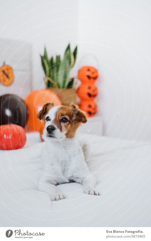 cute jack russell dog at home. Halloween background decoration in bedroom with balloons, garland and pumpkins halloween indoors house lovely pet nobody orange