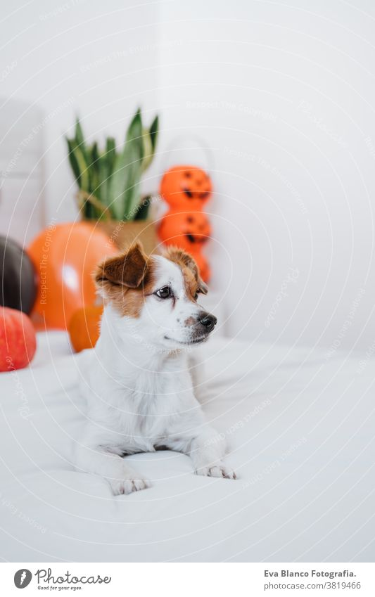 cute jack russell dog at home. Halloween background decoration in bedroom halloween indoors balloons house lovely pet nobody orange pumpkin diadem funny