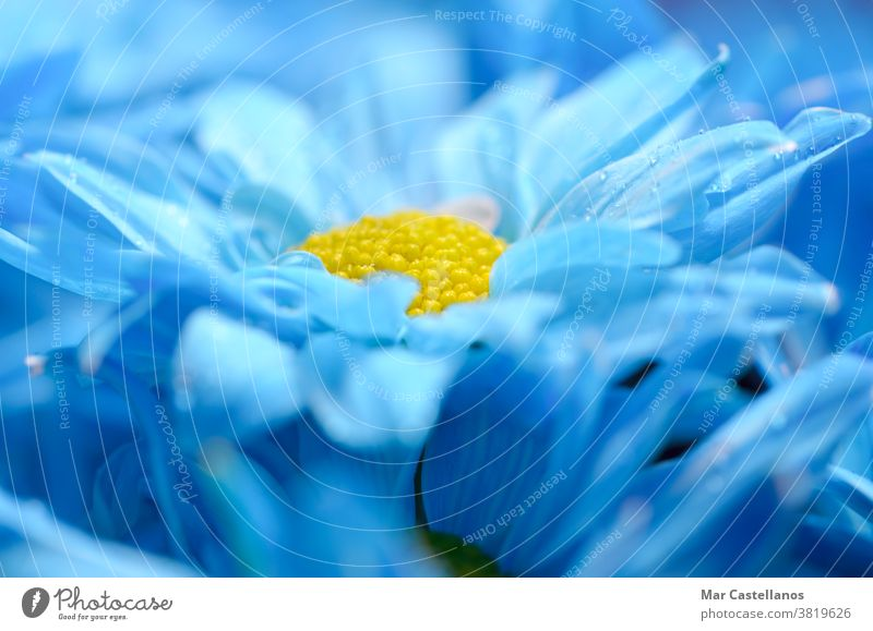 Blue daisies with a blurred background. Floral concept. flowers blue petals macro floral daisy nature summer plant spring meadow beautiful yellow beauty natural
