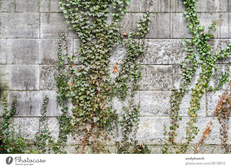 Ivy climbs over the gray stone wall abstract aged architecture autumn autumnal backdrop Background beautiful botany brick building climber climbers climbing