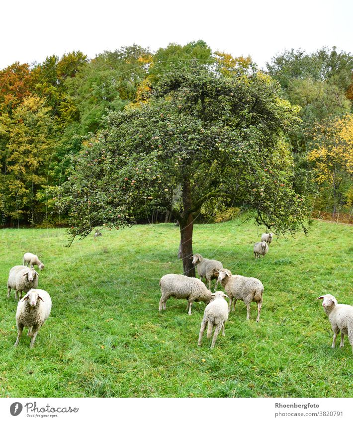 Flock of sheep grazing in the meadow under the apple tree Sheep Meadow Grass grasses Willow tree Landscape Nature Wool sheep's wool Farm animal Animal Pet