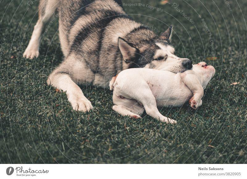 Siberian husky and French bulldog puppy playing in garden siberian husky malamut french bulldog bite biting Dog Husky White Animal Exterior shot Pet Sled dog