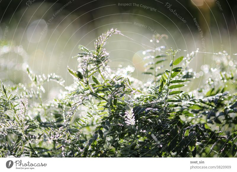 Sun magic of the morning. Silvery dew, shimmering with sunlight, densely covers the green grass in the meadow at dawn. Abundant sparkling dew against the background of iridescent sun glare.