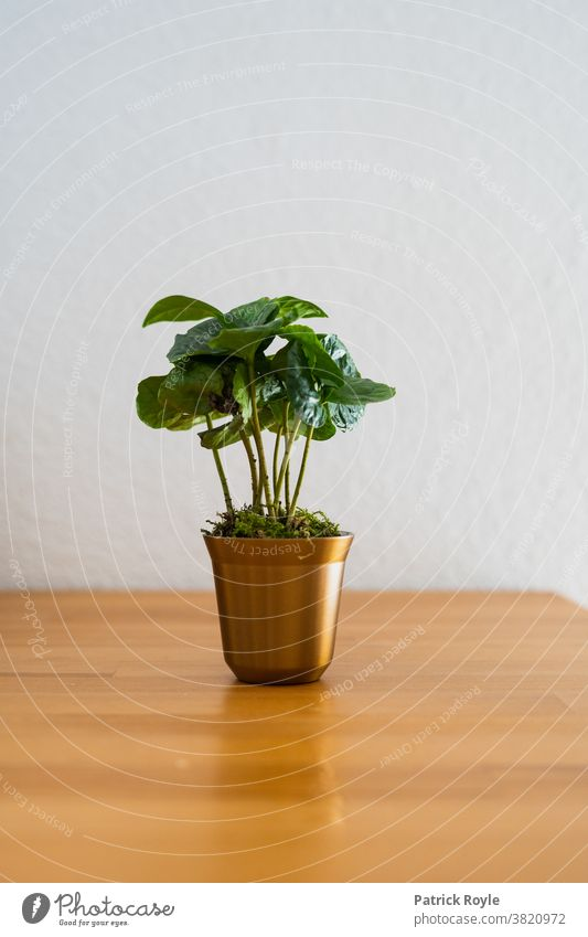 Coffee plant in a capsule shaped cup Sustainability Plant espresso Nespresso Environment Colombian Coffee Caffeine Coffee Bean Roasted Coffee Leaves Green