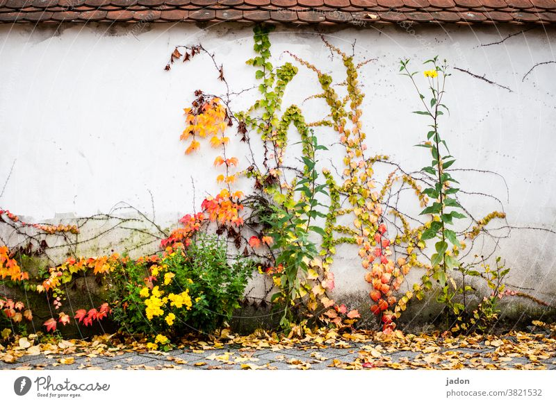 mural. autumn version. Wall (building) Wall (barrier) plants Autumn Nature Deserted Green Facade Plant Leaf Tendril foliage Roof Tiled roof Creeper Overgrown