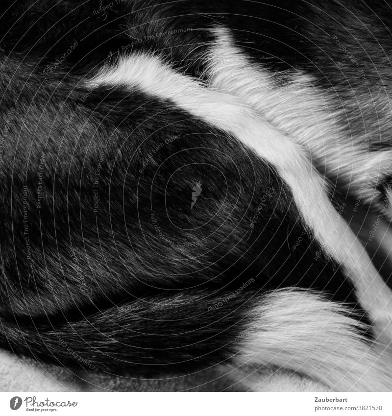 Coat and tail of a sleeping dog in black and white Dog Pelt Black White Tails Sleep Rest tranquillity Lie Cozy rest Cuddling tired Animal Pet Relaxation Fatigue