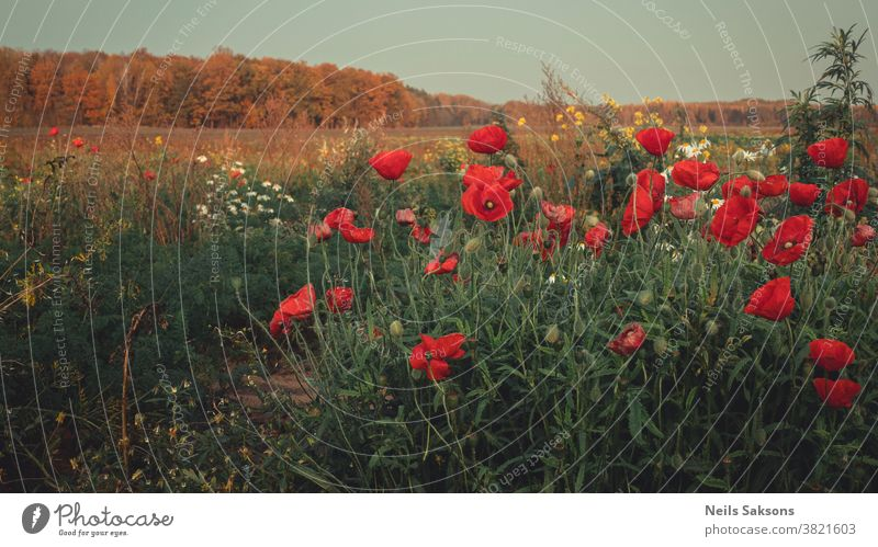 poppies blooming in meadows in late October poppy Poppy field Poppy blossom background beautiful cloud color forest foliage autumn countryside fields floral